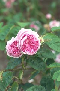 Aromystique Aromatherapy essential oils - Rose oil