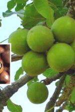 shea-nut